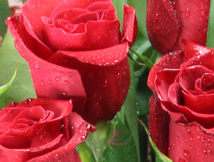 异国之恋—快送鲜花网|情人节鲜花速递|在线订花|同城快递鲜花|特价鲜花订购|邮政