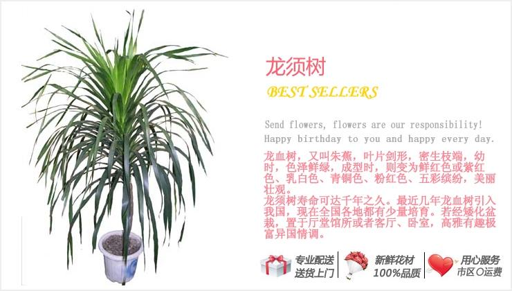 龙须树—快送鲜花网|绿植花卉|异地送花|网上送鲜花|盆栽花卉|办公室绿植|市内绿植