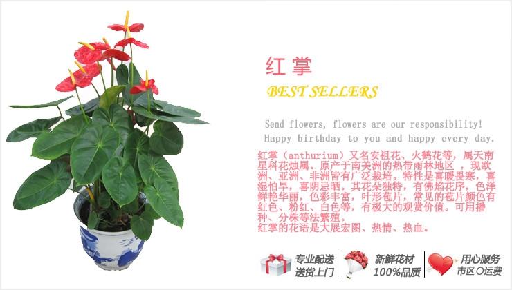 红掌—快送鲜花网|绿植花卉|办公室绿植|市内绿植|上海绿植|重庆绿植|水培花