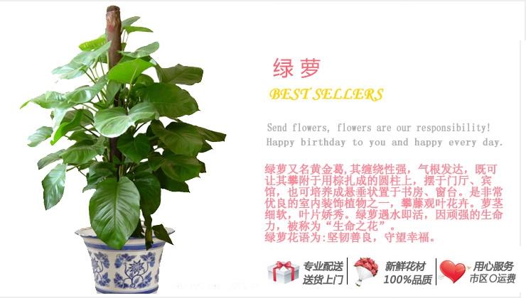 绿萝—快送鲜花网|绿植花卉|办公室绿植|市内绿植|上海绿植|重庆绿植|异地送鲜花